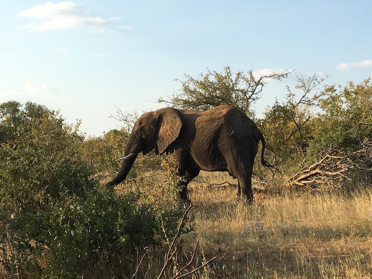 Elephant 1200