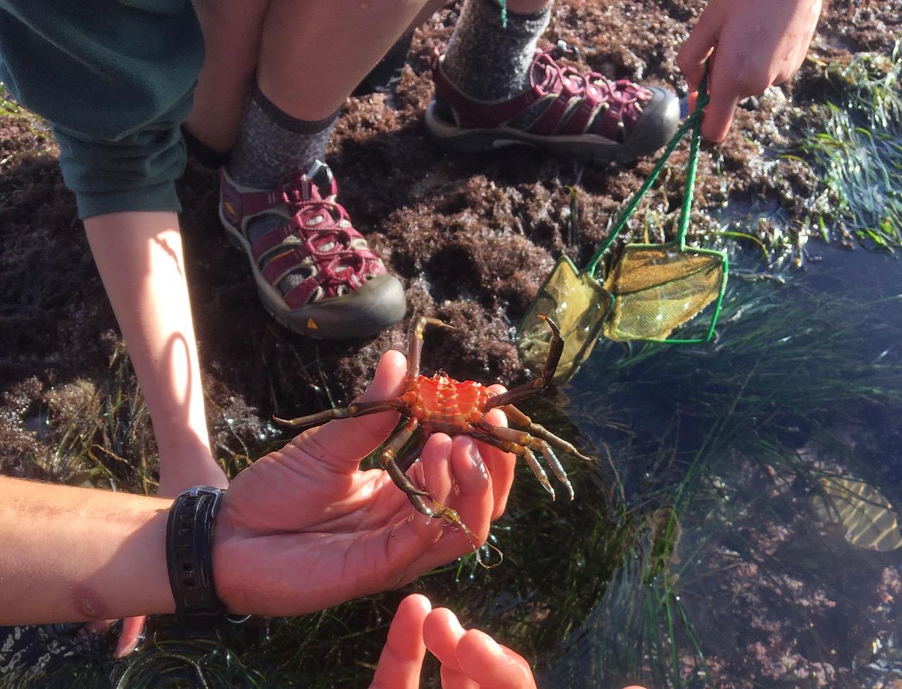 Examining a kelp crab